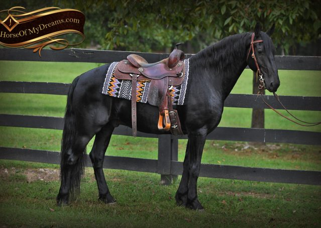 004-Carbon-Black-Friesian-Cross-Gelding-For-Sale