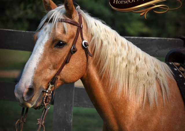 004-Indigo-AQHA-Golden-Palomino-Gelding-For-Sale