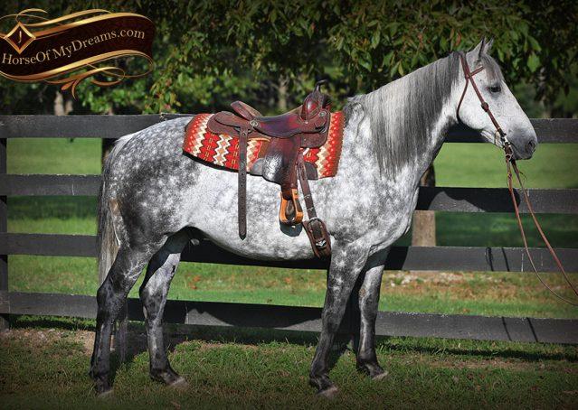 004-Mercury-Dapple-Grey-Percheron-draft-cross-gelding-for-sale