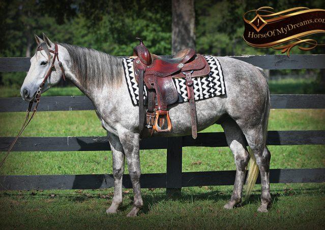 004-Zander-AQHA-Grey-Gelding-For-Sale