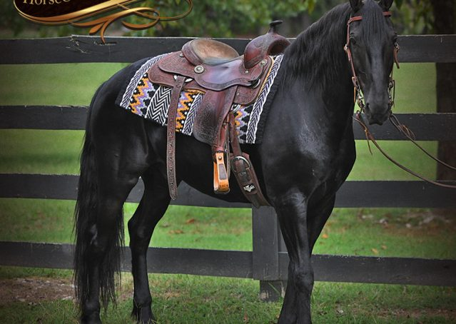 005-Carbon-Black-Friesian-Cross-Gelding-For-Sale
