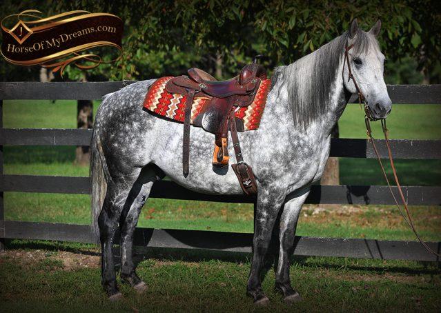 005-Mercury-Dapple-Grey-Percheron-draft-cross-gelding-for-sale
