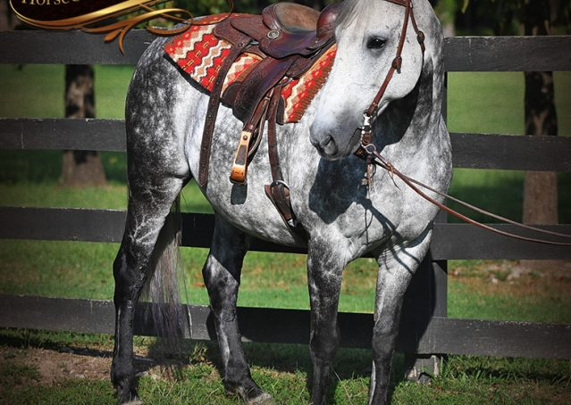 006-Mercury-Dapple-Grey-Percheron-draft-cross-gelding-for-sale