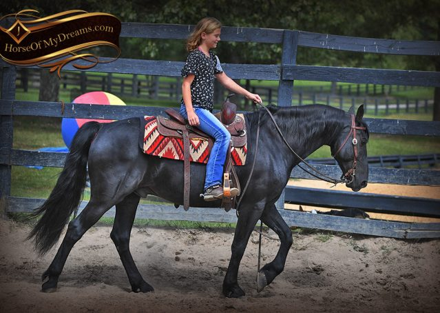 008-Carbon-Black-Friesian-Cross-Gelding-For-Sale
