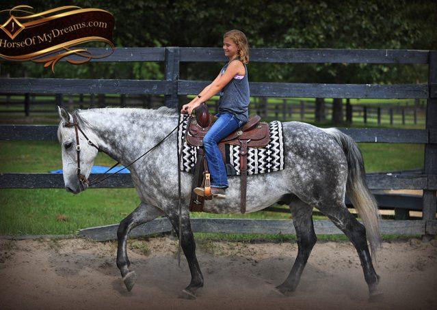 009-Mercury-Dapple-Grey-Percheron-draft-cross-gelding-for-sale