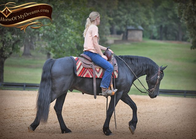 010-Carbon-Black-Friesian-Cross-Gelding-For-Sale