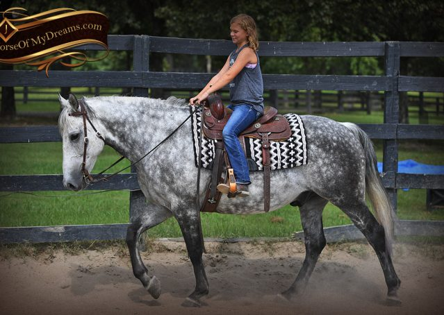 010-Mercury-Dapple-Grey-Percheron-draft-cross-gelding-for-sale