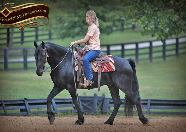 011-Carbon-Black-Friesian-Cross-Gelding-For-Sale