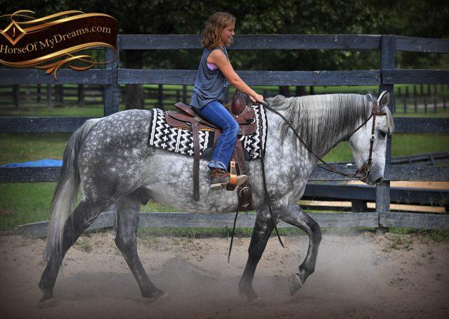 011-Mercury-Dapple-Grey-Percheron-draft-cross-gelding-for-sale