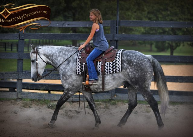 013-Mercury-Dapple-Grey-Percheron-draft-cross-gelding-for-sale