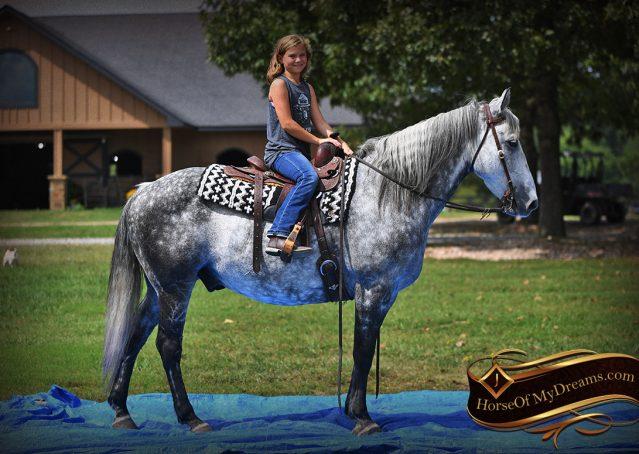 014-Mercury-Dapple-Grey-Percheron-draft-cross-gelding-for-sale