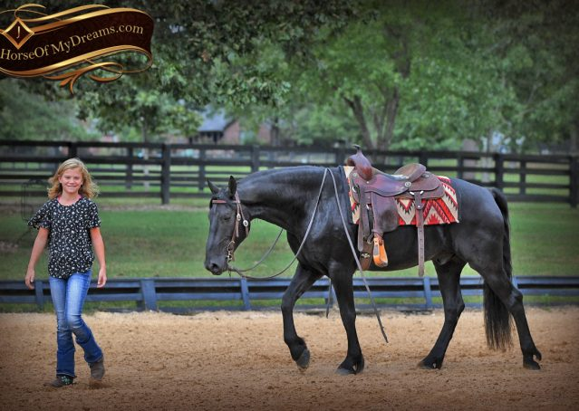 015-Carbon-Black-Friesian-Cross-Gelding-For-Sale