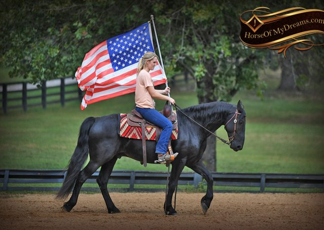 017-Carbon-Black-Friesian-Cross-Gelding-For-Sale