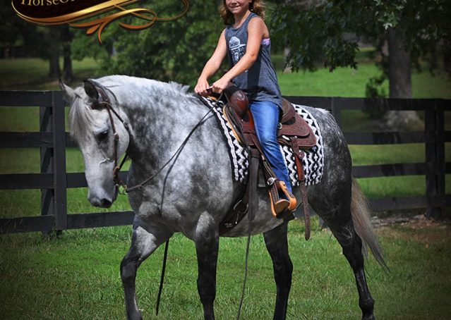 017-Mercury-Dapple-Grey-Percheron-draft-cross-gelding-for-sale