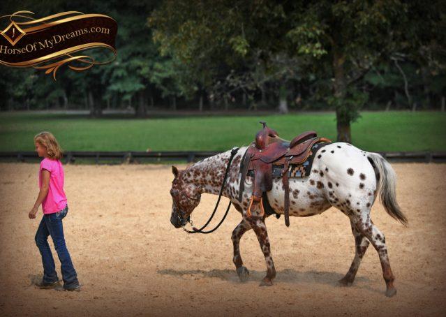 017-Sully-Leopard-appaloosa-POA-kids-pony-fancy-for-sale