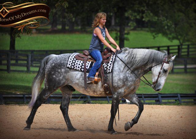 019-Mercury-Dapple-Grey-Percheron-draft-cross-gelding-for-sale