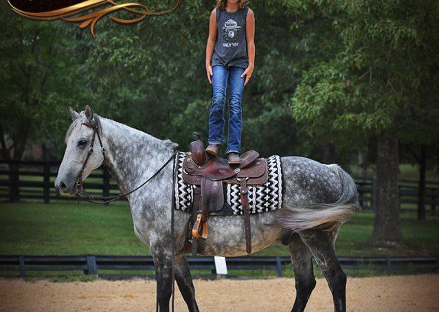020-Mercury-Dapple-Grey-Percheron-draft-cross-gelding-for-sale