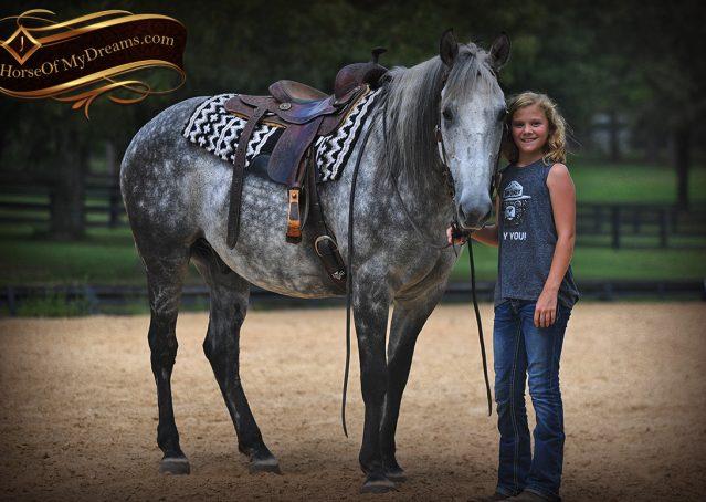 024-Mercury-Dapple-Grey-Percheron-draft-cross-gelding-for-sale