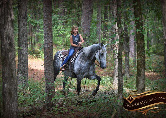 026-Mercury-Dapple-Grey-Percheron-draft-cross-gelding-for-sale