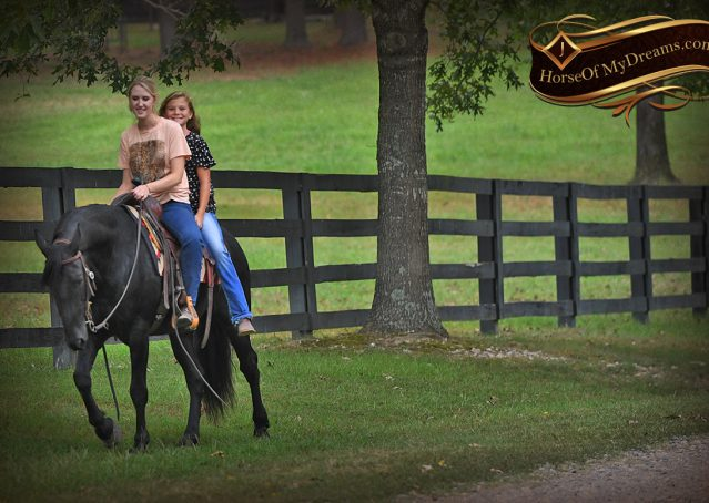 029-Carbon-Black-Friesian-Cross-Gelding-For-Sale