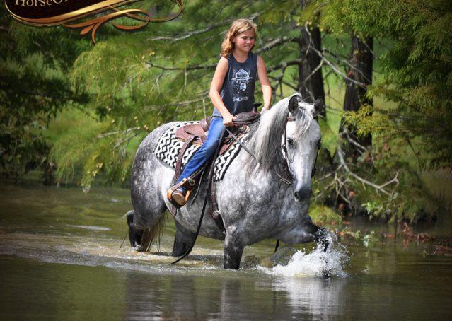029-Mercury-Dapple-Grey-Percheron-draft-cross-gelding-for-sale