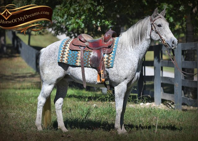 001-Ike-Grey-AQHA-gelding-for-sale