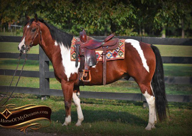 002-Rambo-Bay-Tobiano-APHA-Roping-Heeling-Gelding-Horse-For-Sale