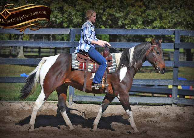 003-Nick-Bay-Tobiano-APHA-gelding-for-sale