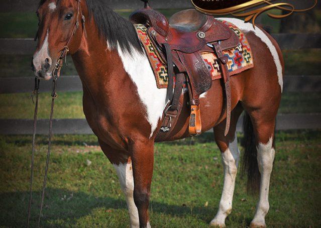 004-Rambo-Bay-Tobiano-APHA-Roping-Heeling-Gelding-Horse-For-Sale