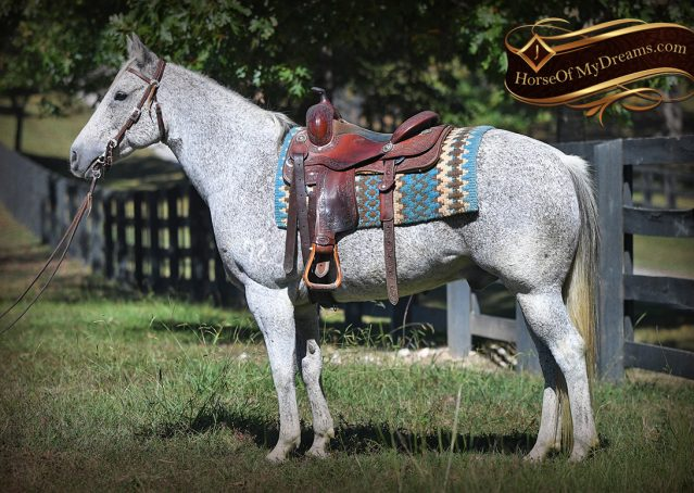 005-Ike-Grey-AQHA-gelding-for-sale