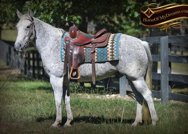 006-Ike-Grey-AQHA-gelding-for-sale