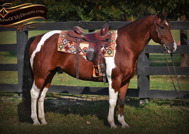 006-Rambo-Bay-Tobiano-APHA-Roping-Heeling-Gelding-Horse-For-Sale