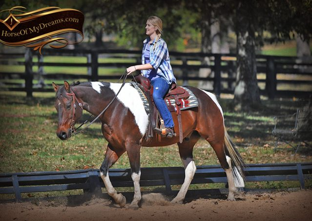 007-Nick-Bay-Tobiano-APHA-gelding-for-sale