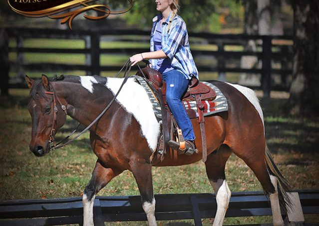 008-Nick-Bay-Tobiano-APHA-gelding-for-sale