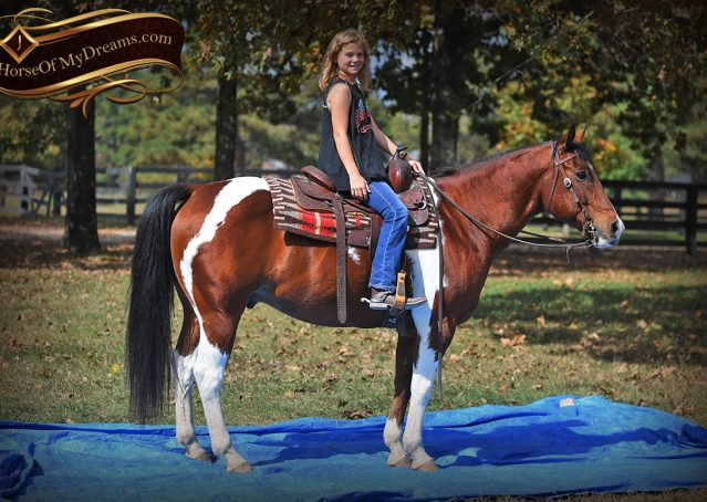 012-Rambo-Bay-Tobiano-APHA-Roping-Heeling-Gelding-Horse-For-Sale