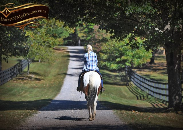 015-Nick-Bay-Tobiano-APHA-gelding-for-sale