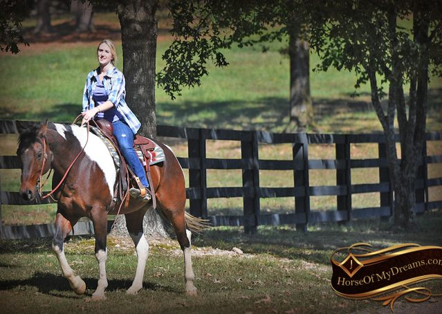 016-Nick-Bay-Tobiano-APHA-gelding-for-sale