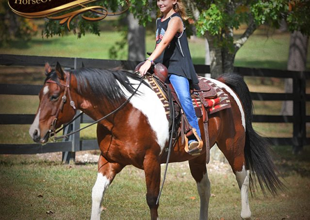 022-Rambo-Bay-Tobiano-APHA-Roping-Heeling-Gelding-Horse-For-Sale