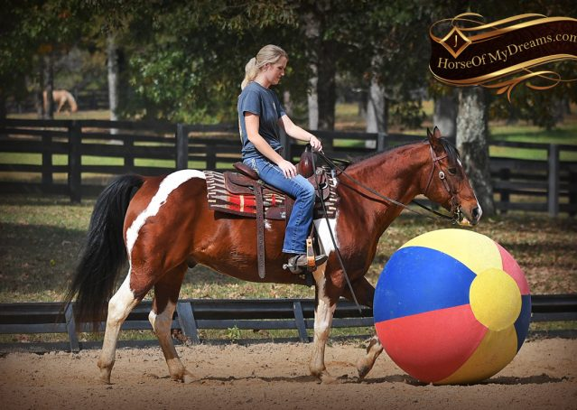 031-Rambo-Bay-Tobiano-APHA-Roping-Heeling-Gelding-Horse-For-Sale