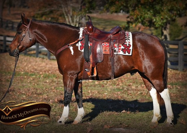 002-Carson=Bay-tobiano-gelding-for-sale