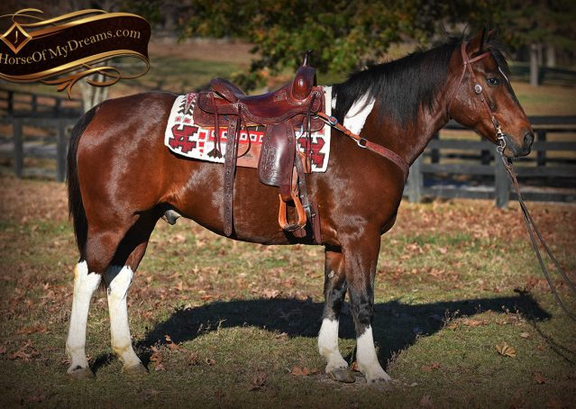 003-Carson=Bay-tobiano-gelding-for-sale