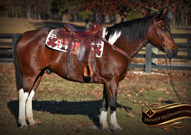 004-Carson=Bay-tobiano-gelding-for-sale