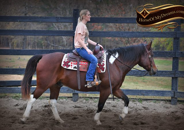 009-Carson=Bay-tobiano-gelding-for-sale