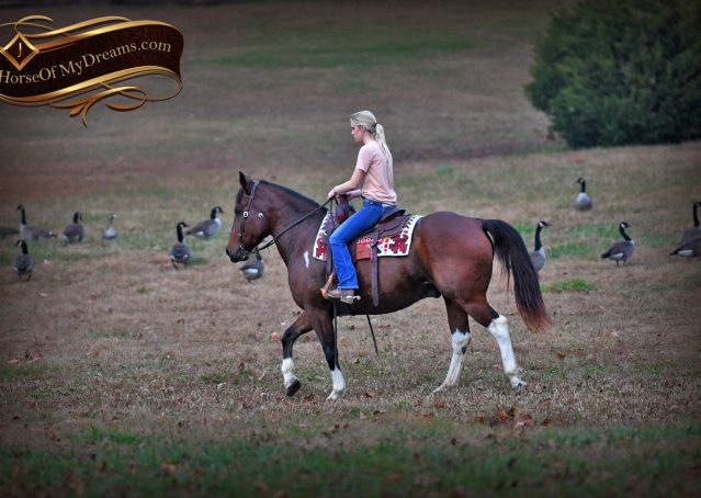 014-Carson=Bay-tobiano-gelding-for-sale