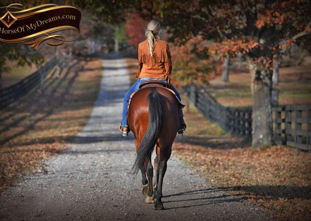015-Harley-Bay-Quarter-Horse-Gelding-For-Sale