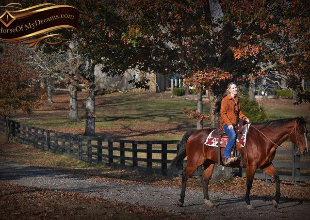 016-Harley-Bay-Quarter-Horse-Gelding-For-Sale