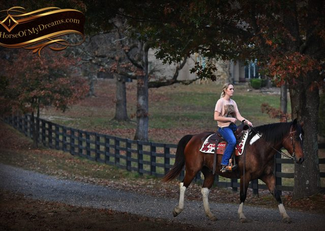 024-Carson=Bay-tobiano-gelding-for-sale