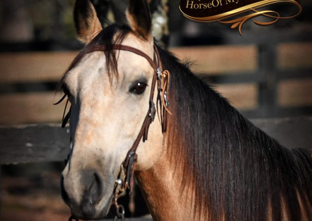 004-Oakley-Buckskin-Quarter-Horse-Gelding