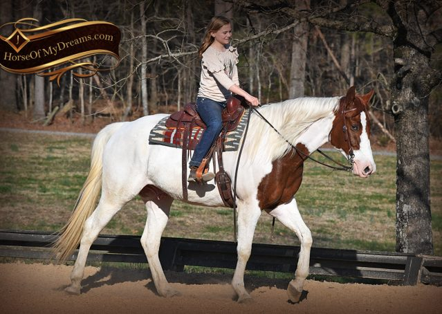 007-Major-Sorrel-Tobiano-APHA-Gelding-For-Sale