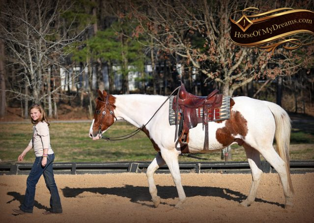 011-Major-Sorrel-Tobiano-APHA-Gelding-For-Sale